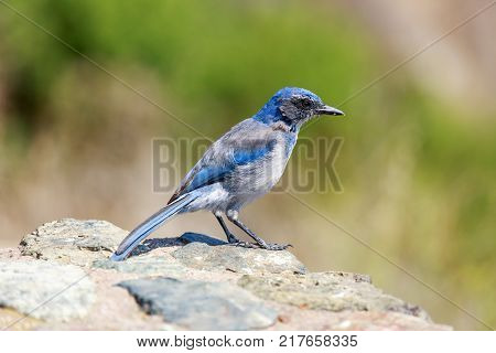 California Scrub-Jay (Aphelocoma californica) Adult perched on a rock. Big Sur, Monterey County, California, USA.