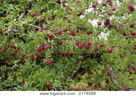 photo of red apple tree with nice fruits poster