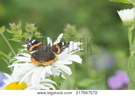Vanessa atalanta, red admiral or admirable butterfly, sitting on the white Matricaria chamomilla flower petals. close up, macro.