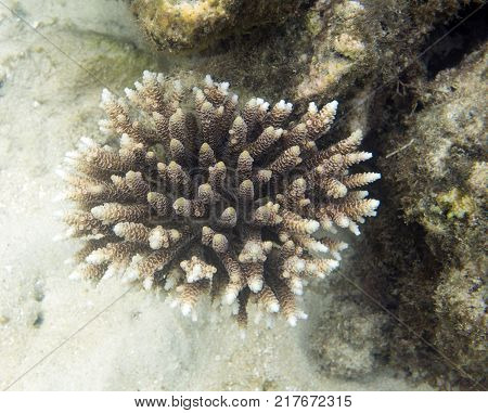 Acropora close up view in Togian islands Sulawesi Indonesia poster