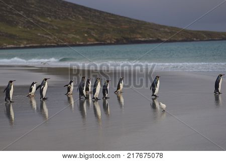 Group of King Penguins (Aptenodytes patagonicus) on the beach at The Neck on Saunders Island in the Falkland Islands.