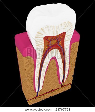 Tooth cut or section isolated over black background poster