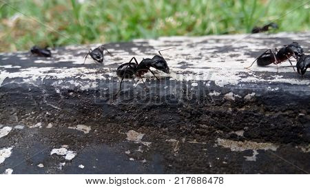 Black Ant, This Is A Kind Of Army Ants