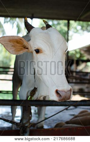 A COW TIED TO A ROPE IN SHELTER IN A COW SHADE