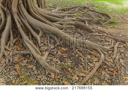 Banyan tree roots in the park at thailand