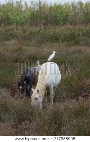 A white adult and gray colt Camargue horses grazing on lush grass. A cattle egret is standing on the white horse's back.