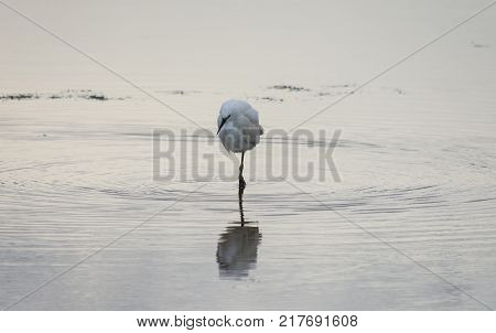 A small white Little Egret standing in the water looking for food. He has black legs and a black beak. He appears to be standing on one leg. Image has copy space.