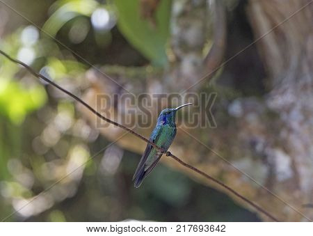 Green Violet Ear Hummingbird in the Monteverde Cloud Forest in Costa Rica