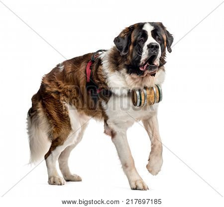 St. Bernard dog walking with a barrel (14 months old), isolated on white