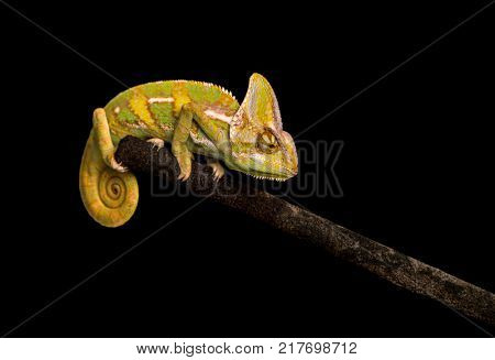 Veiled chameleon on black background