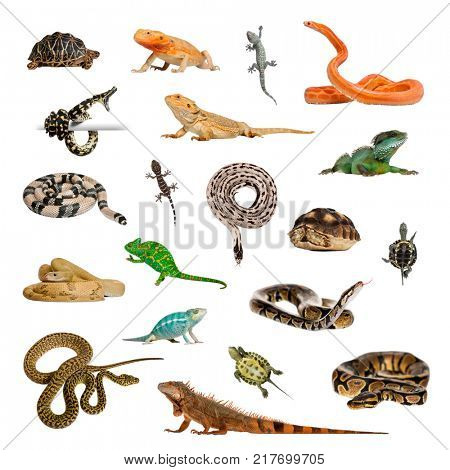 Large collection of reptile, pet and exotic, in different position, Isolated on white background.