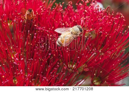 Bees on a red Pohutukawa flower macro close up of anther and stamen of blooms. Metrosideros excelsa also known as New Zealand Christmas Tree in NZ.