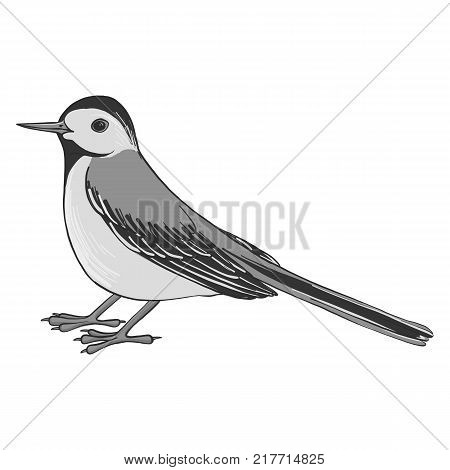 wagtail, vector bird, hand drawn songbird, isolated vector elements