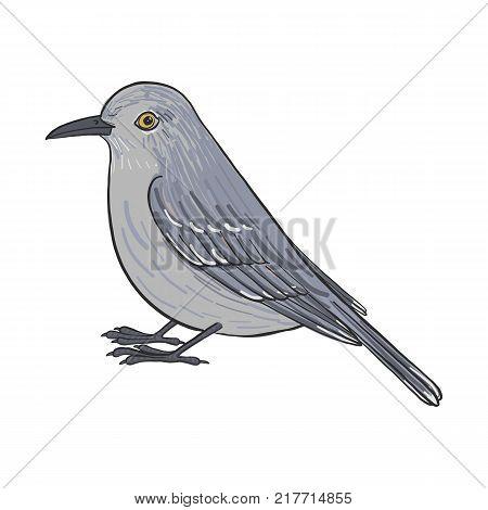 mockingbird, vector bird, hand drawn songbird, isolated vector elements