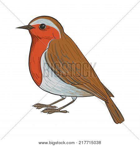 robin, vector bird, hand drawn songbird, isolated vector elements
