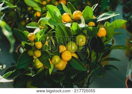 Calamondin is called by many names including: calamonding calamondin orange calamansi calamandarin golden lime kalamunding kalamansi Philippine lime Panama orange Chinese orange musk orange and acid orange.