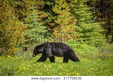 Wild Black Bear walks in forests of Banff and Jasper National Park, Canada situated in canadian Rocky Mountains.