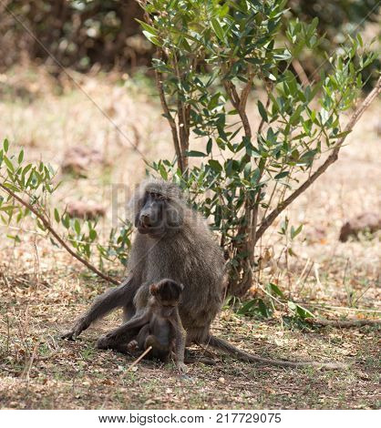 Olive Baboon mother with baby (scientific name: papio anubis, or Nyani in Swaheli) in the Lake Manyara National park, Tanzania