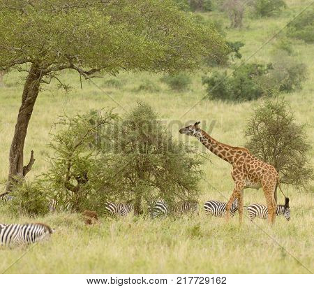 Giraffe and zebra feeding in the Serengeti National Park