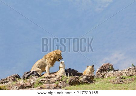 Lions copulating (scientific name: Panthera leo, or
