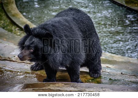 Close up photo of bear with black and wet hair