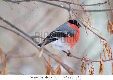 Cute bullfinch is eating the seeds of a tree. Animals wildlife. Spring morning.