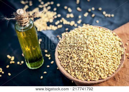 Oil Of Trigonella Foenum-graecum,methi,fenugreek In A Clay Bowl With Its Seed.