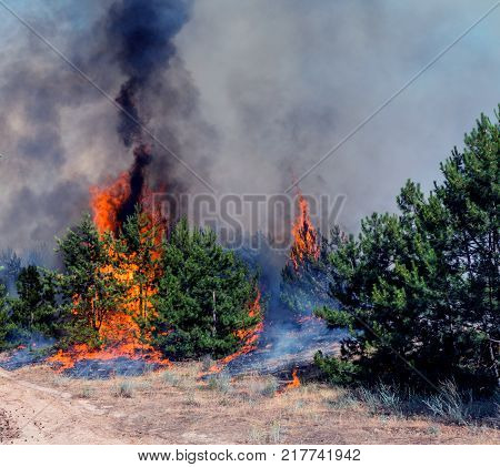 fire. wildfire burning pine forest in the smoke and flames