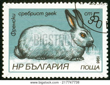 UKRAINE - circa 2017: A postage stamp printed in Bulgaria shows French Silver Rabbit Oryctolagus cuniculus forma domestica Series Hares and Rabbits circa 1986