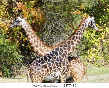 Crossed Giraffes