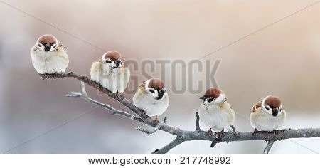 five funny little birds sparrows sitting on a branch in winter garden hunched