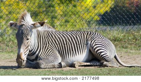 Zebra In Repose
