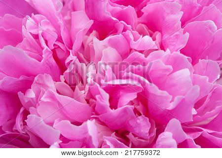 Peony flower petals close-up photo. Colorful textured decorative violet pink plant, shallow depth of field.
