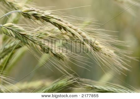 Ears Of Rye