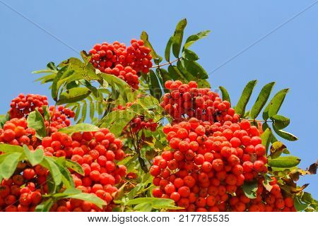 Rowan berries Mountain ash (Sorbus) tree with ripe berry