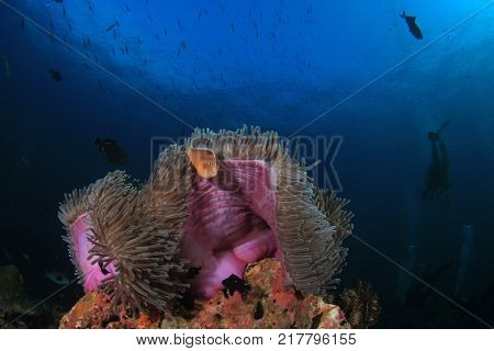 Sea Anemone, Skunk Anemonefish and Scuba divers