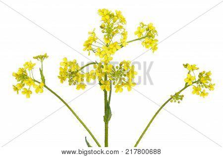 Barbarea vulgaris flower isolated on white background
