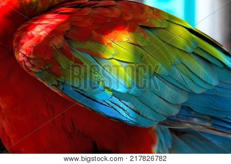 Colorful red and green feathers, Ara parrots plumage texture, macro shot of wing