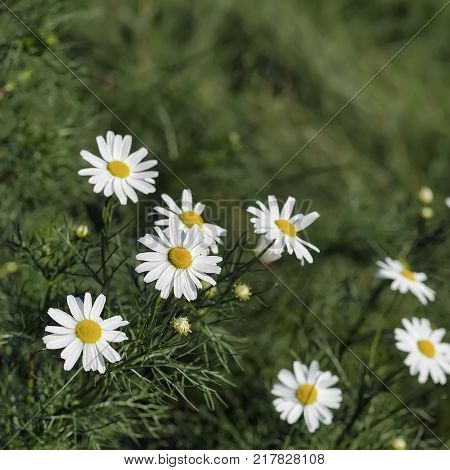 Close-up part of beautiful chamomile, daisys flowers in the wind. Concept of seasons, ecology, green planet, Health, natural green pharmacy, perfumery