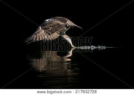 Osprey in Flight Taking Off From Water After Catching a Menhaden Fish