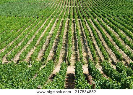 Pattern of wine crops at a vineyard at Colchagua valley Chile