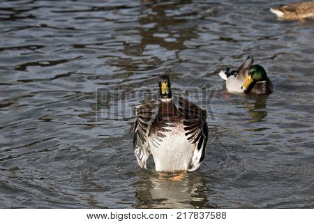 An adult mallard drake flaps his wings in a pond
