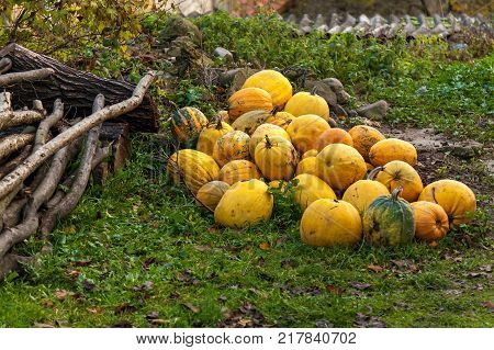 pumpkins stacked on the farm, Many piles of yellow pumpkins on the field