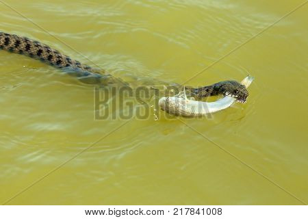 the snake eats fish. The snake hunts fish in the water, the snake catches the fish and wants to eat it