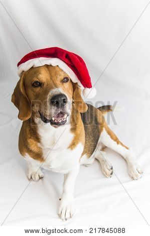 surprised santa dog, cute beagle in Santa Claus costume isolated on white background