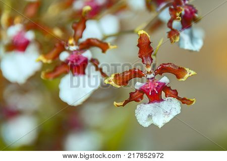 BIZARRE ORCHID - The Ballerina Orchid. Rare species orchid which look like a ballerina dancing. The red and yellow petals on both sides spread like the 'ballerina arms', the top petal is like the hat, and the white lower end falls like the 'ballerina skir