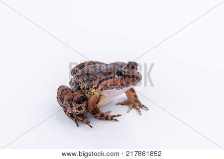Common Name:Kuhls Frog / Scientific Name:Limnonectes kuhlii (Tschudi 1838) : frog on white background.