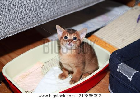 Funny Abyssinian kitten during accustoming to the cat tray.