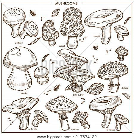 Mushrooms sketch icons. Vector edible champignon, chanterelle or morels and porcini cep mushroom, boletus and forest russula or puffball, poisonous amanita and lactarius or shiitake