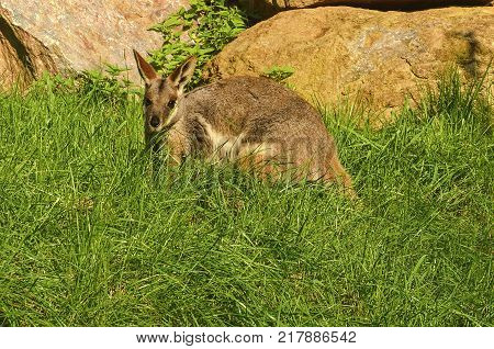 The yellow-footed rock-wallaby Petrogale xanthopus , formerly known as the ring-tailed wallaby